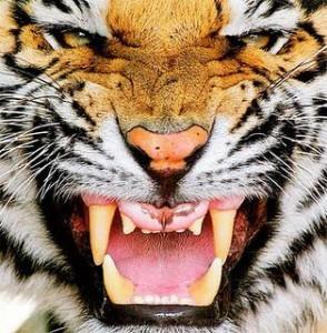 essere-tigre-L-0XTE4Y1